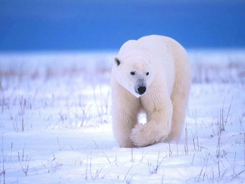 Curiosidades Y Fotos De Animales: Oso Polar