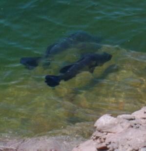 Nile perch in water