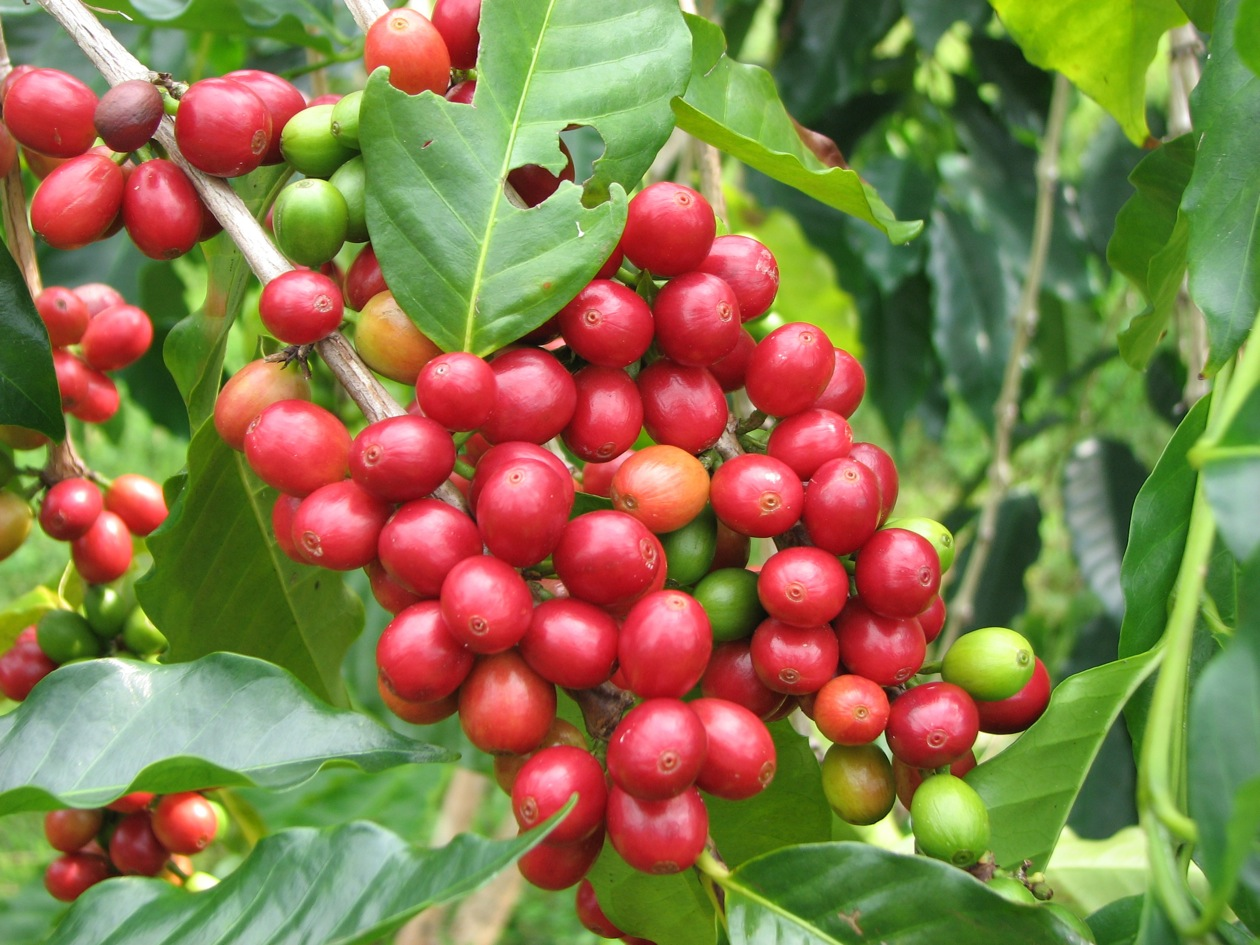 Image Result For What Is The Most Expensive Coffee Bean In The World