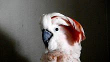 My Moluccan Cockatoo