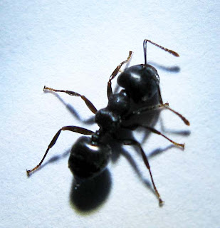 black species of Crematogaster