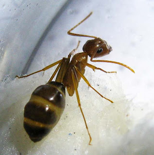 The minor worker of a Camponotus maculatus pallidus