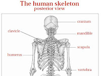 Skeleton Diagram Labeled