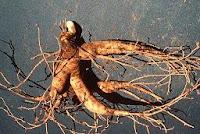 La raíz del ginseng o ginsén en medicinas