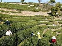 Plantación de té verde una poderosa medicina natural antioxidante