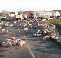 Cerdos en la carretera protestando por los cambios en el procedimiento sancionador