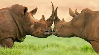 Rinocerontes cara a cara