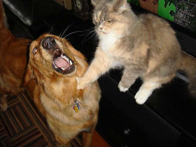 cat and dog playing together