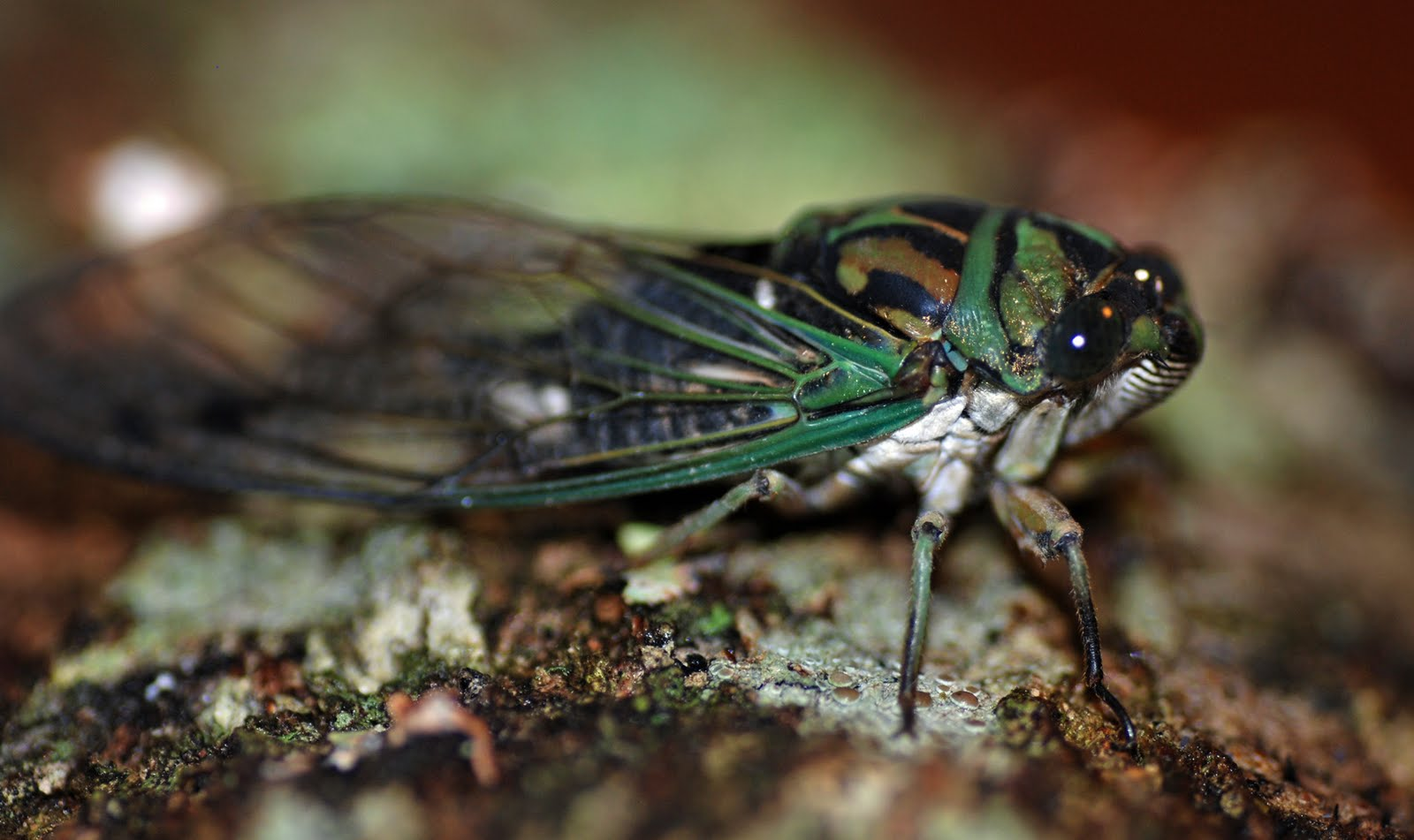 cicada - photo #19