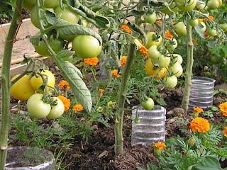 https://4.bp.blogspot.com/_OvxlUzzvECE/S-Qu1aG8lhI/AAAAAAAAAMA/VWMqdxZgunA/s1600/watering+tomatoes.jpg