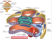 Glomerulus Diagram