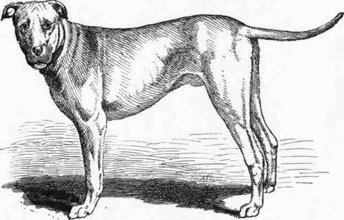 The TRUTH About Pit Bulls: Scapegoats: Part 1 - The Bloodhound