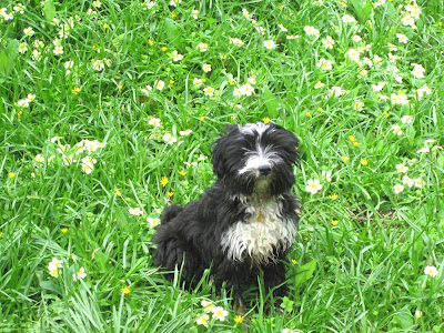 nellie the tibetan terrier