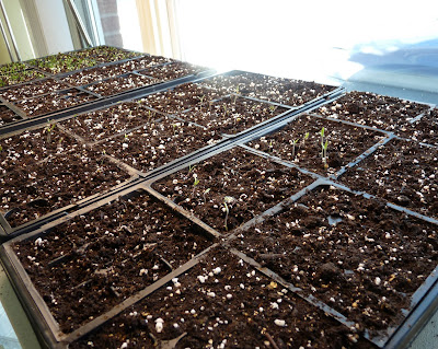 Tomato Seedlings 1 Week After Planting