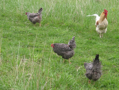 Stone Meadow Chickens in the Grass