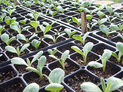 Artichoke seedlings grown in black modular trays