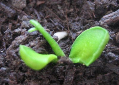 Orange seedling emerging through the soil
