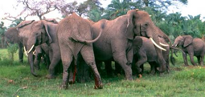 HOW DO ELEPHANTS COMMUNICATE AND TALK TO EACH OTHER?