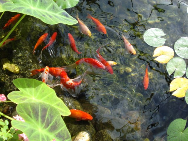 How do high nitrate levels affect fish health the garden for Backyard pond plants and fish