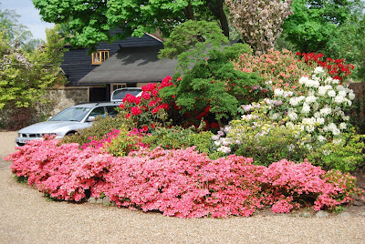 Rhododendron island bed in full flower