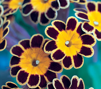 Polyanthus 'Gold Lace' flowers