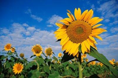 Field of yellow flowered sunflowers