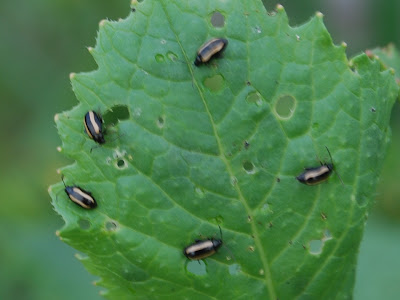 Flea beetles chewing on a dahlia leaf