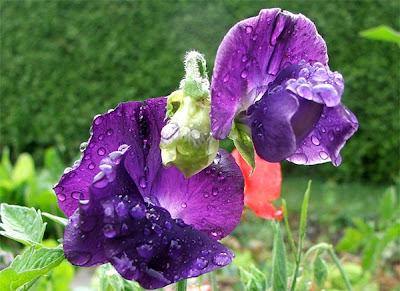 Blue sweet pea blooms wet with rain