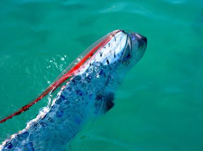 The Strangerest: The Oarfish - the origin of the sea ... Oarfish 56 Ft