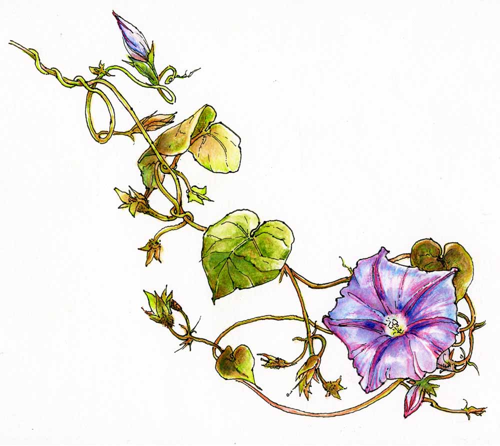 Drawing Flower Morning Vines Glory