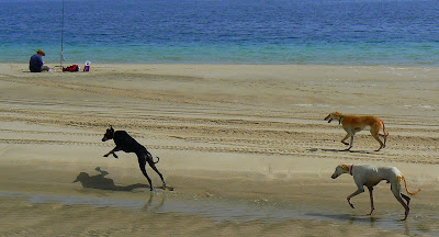 Saluki hounds out training in the desert