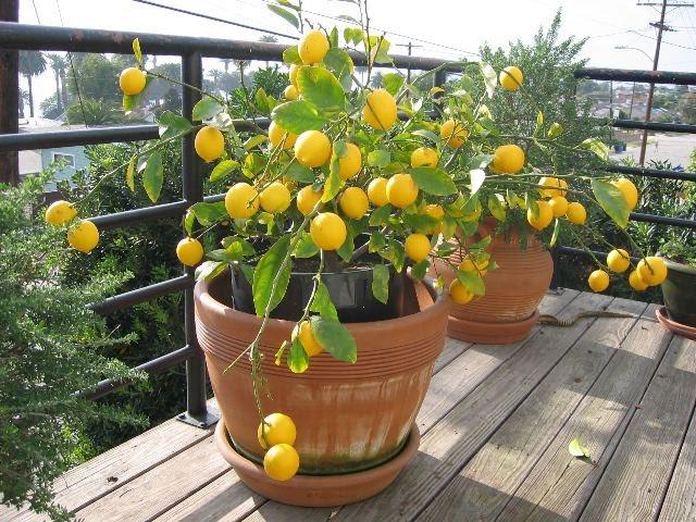 Il bergamotto è un agrume appartenente al genere Citrus, un albero che raggiunge un'altezza di circa tre metri e produce piccoli fiori bianchi molto profumati
