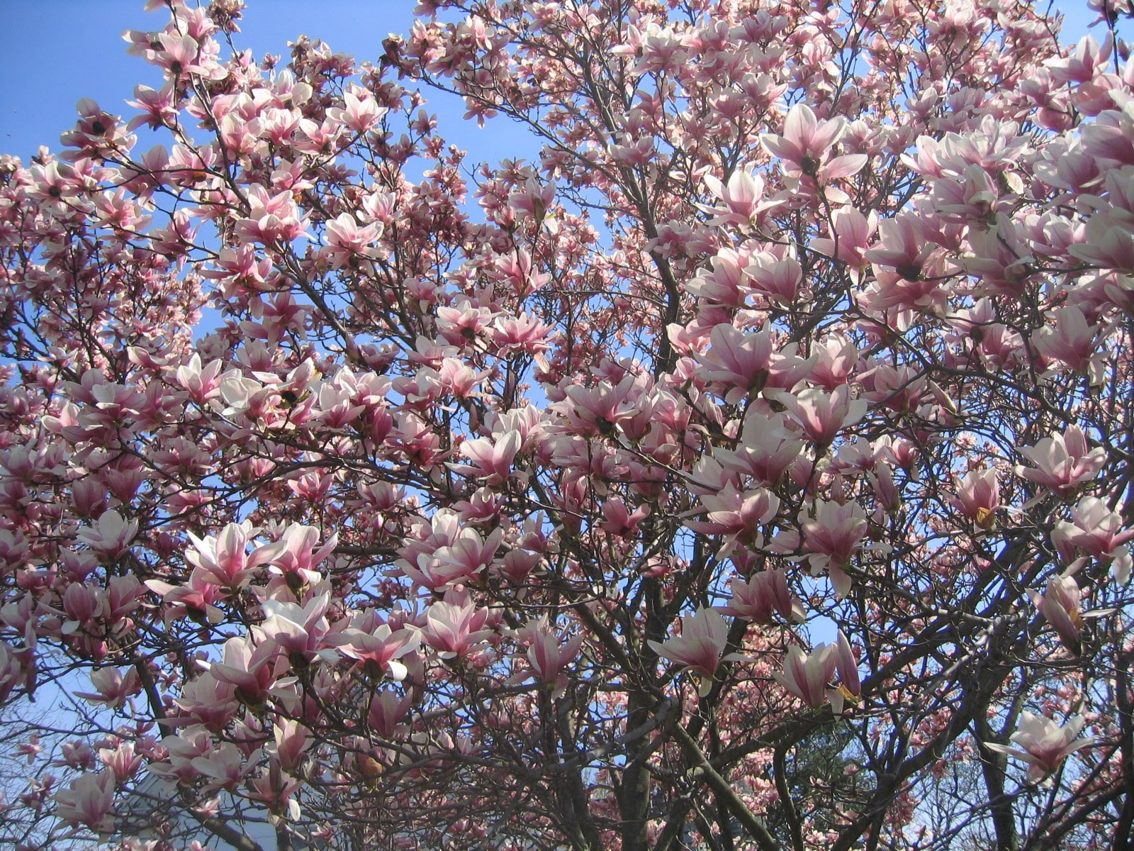 Valley View Farms Plant Of The Week Magnolia X Soulangiana