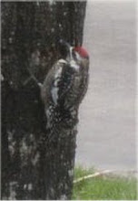 Woodpecker photos 1