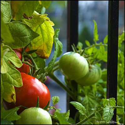 Cosecha de verduras en jardin