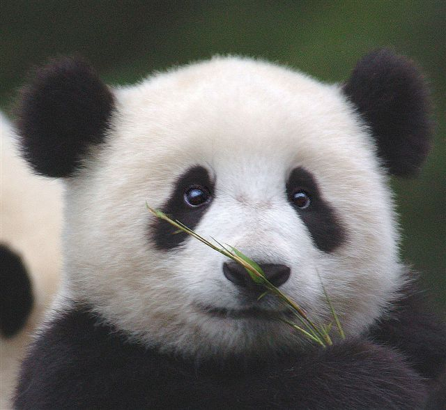 I'm Curious Too: Giant Panda