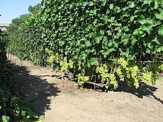 Одноплоскостная шпалера винограда