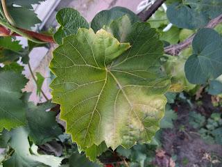 Старый лист винограда