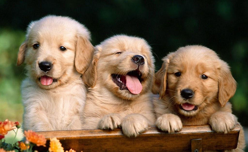 Hundewlpen