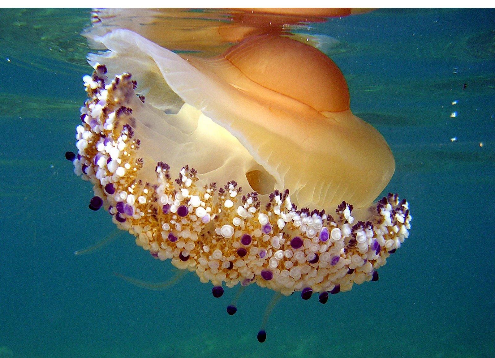 úszott szembe: szemölcsös medúza