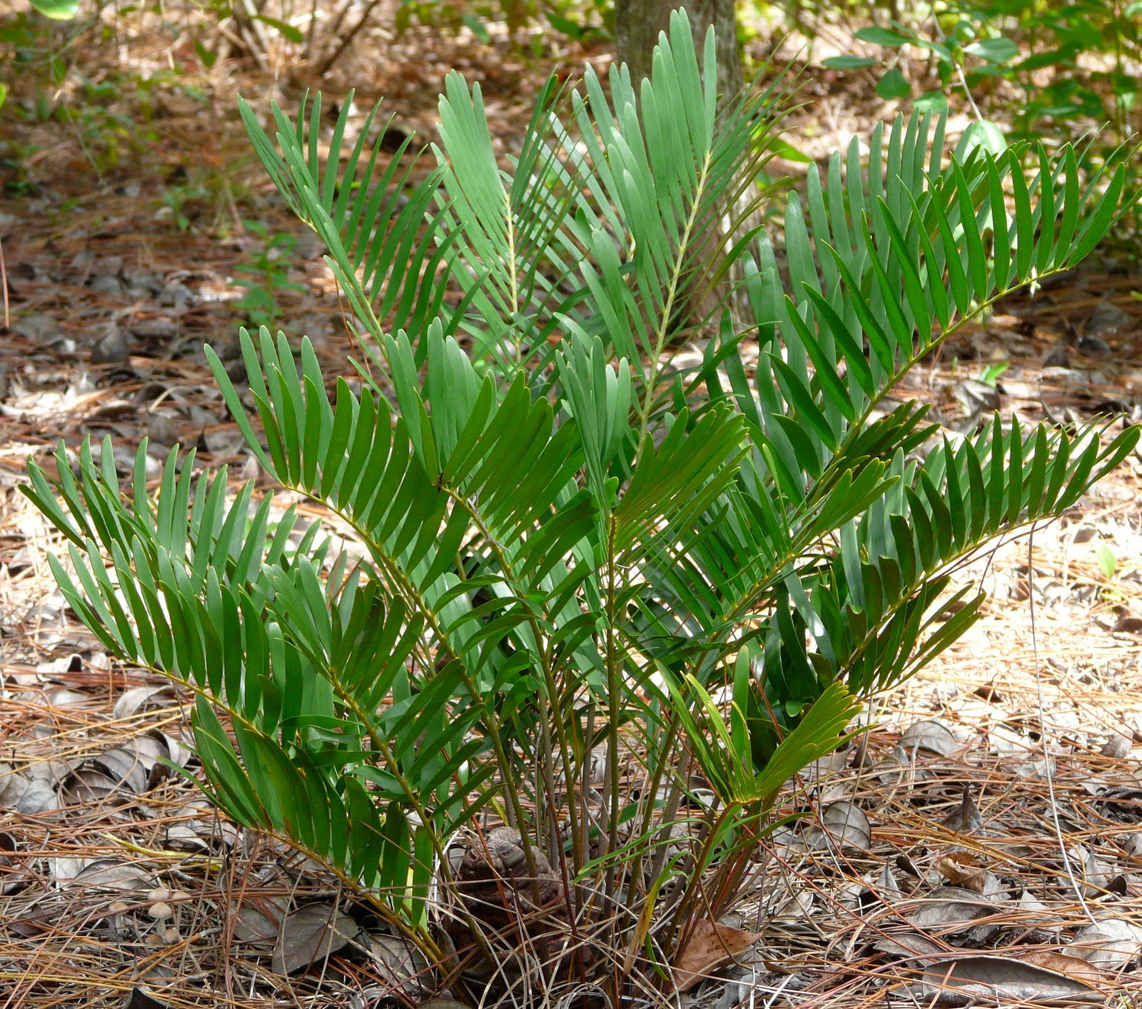 Types Of Lilies In Florida: Coonties: Captivating Cycads