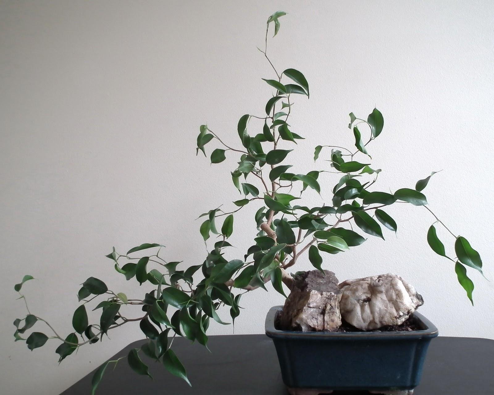 Scented Leaf Ficus Wiandi Air Purifying Bonsai
