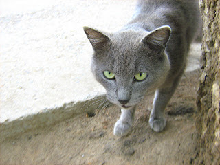 Green Eyes Smoky Hungry Cat Russian Cats Pictures