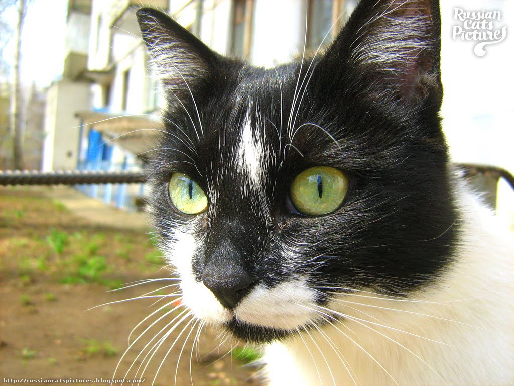 Lime Eyed Black With White Happy Cat Russian Cats Pictures