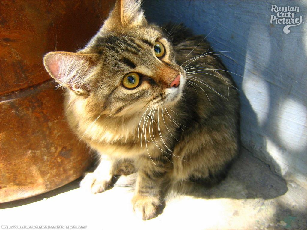 Yellow Eyed Brown Mackerel Tabby Shy Cat Russian Cats