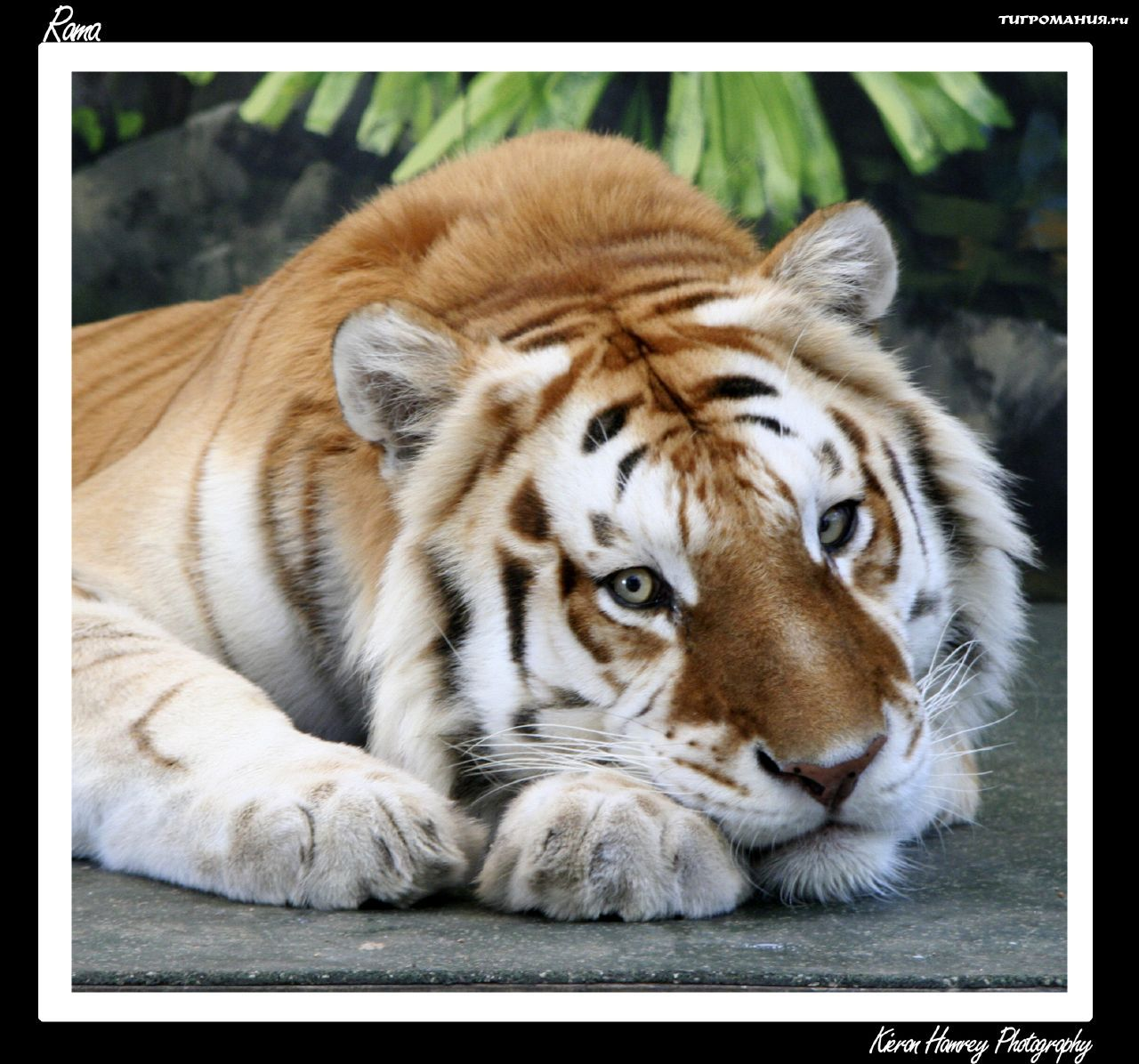 Tiger: Pets And Animals: Golden Tiger