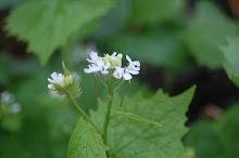 Garlic Mustard or Jack by the Hedge,(Alliara petiolata)