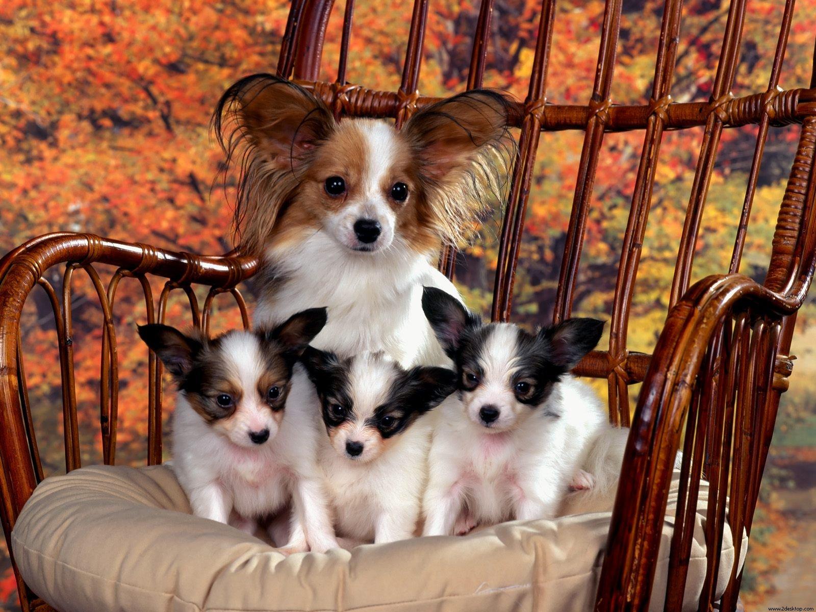 Leuke honden achtergrond met een vader of moeder hond met kleine puppy's op een stoel