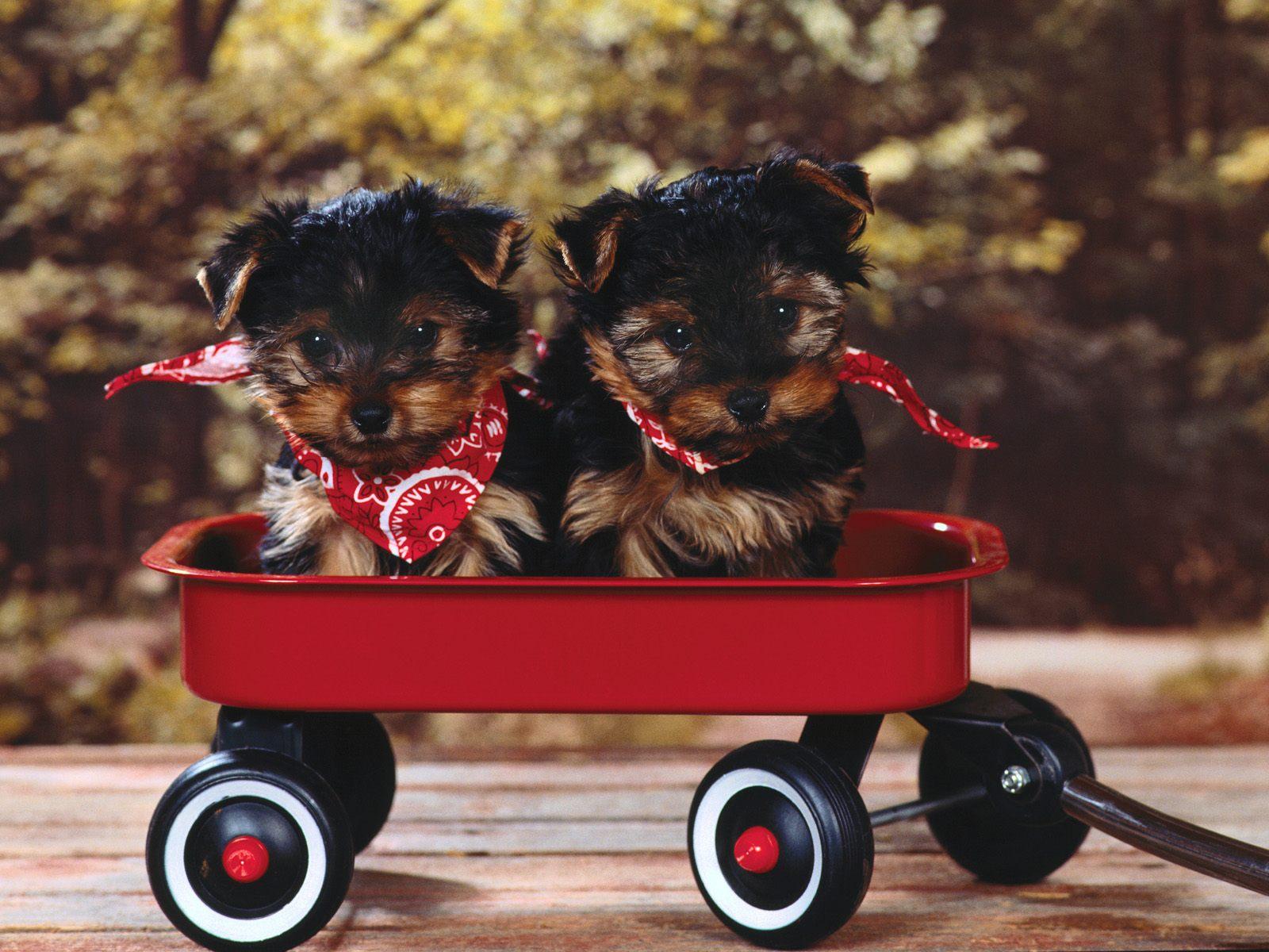 Honden wallpaper met twee hondjes in een rode kar