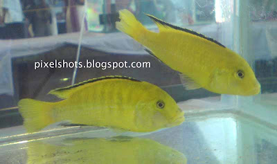 bright-yellow-aquarium-fishes,aquarium-cichlid-pairs,less-aggressive-aquarium-fishes,beautiful-fishes,cichlid-facts
